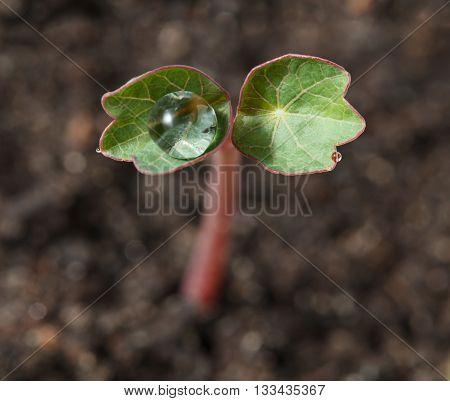 Macro of tiny nasturtium (Tropaeolum majus) seedling with big drop on leaves