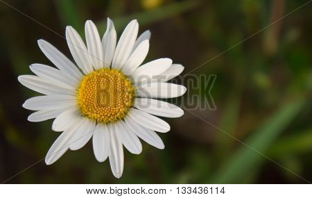 chamomile, one, grows in the field, the summer period, white, yellow, a grass a background, solar evening, the nature, natural, a flower, one,