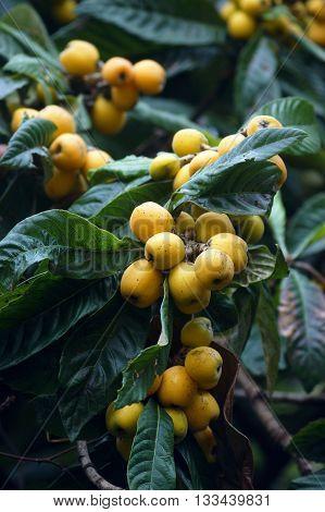 Japanese medlar fruits ripen on the tree