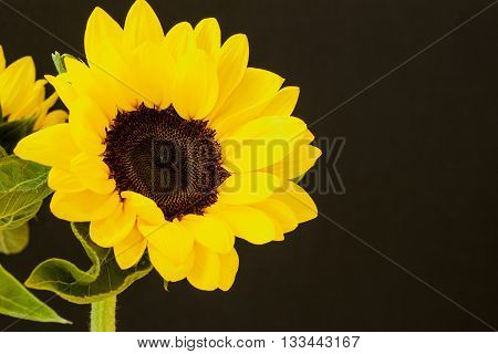 Beautiful yellow sunflowers on a black background