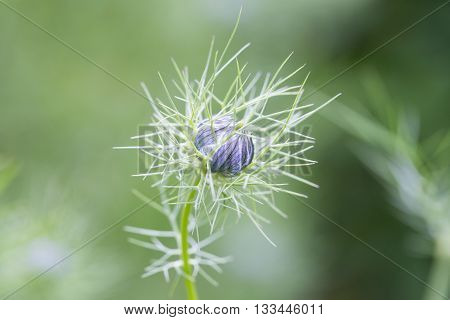 closeup of a nigella sativa bud known as black cumin or black caraway with shallow depth of field.