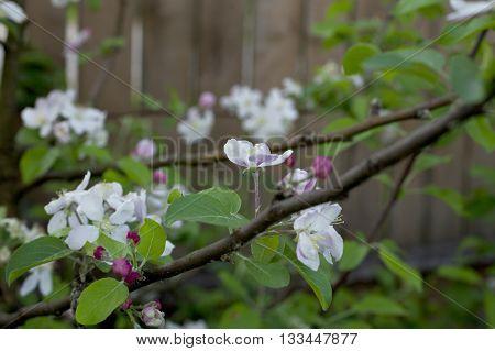 beautiful flowers on the apple tree in nature. Papirovka.