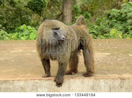 Male olive baboon greeting visitors in Serengeti, Africa