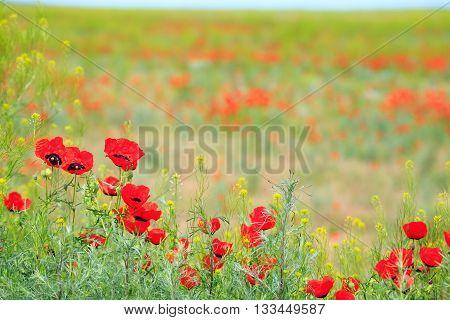 Poppy Field With Mountain, Kazakhstan, Central Asia