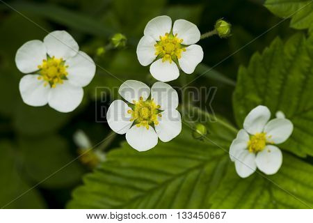 The Flowers Of Wild Strawberry Berries