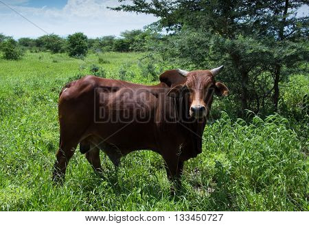 Brahma Bull cow grazing in green meadow