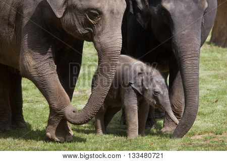 One-month-old Indian elephant (Elephas maximus indicus) with its mother. Wildlife animal.