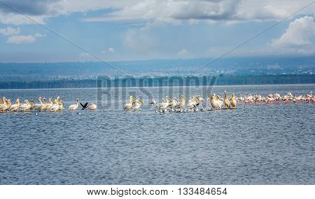 Masses of White Pelican birds and flamingos on the lake Nakuru Kenya