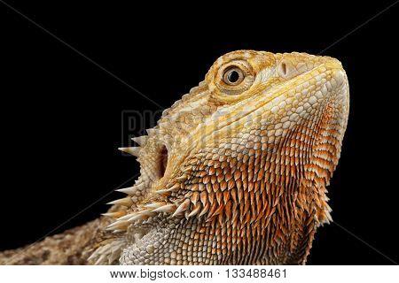 Closeup head of Beautiful Bearded Dragon Llizard, agama, Isolated on Black Background, Side view
