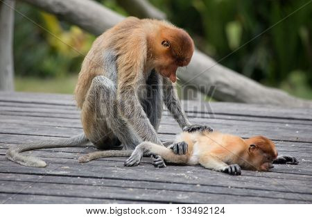 A proboscis monkey (Nasalis larvatus) at the Labuk Bay Monkey Sanctuary outside of Sandakan Malaysia.