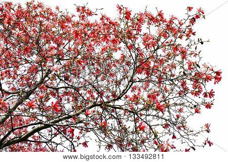 Red spring flowers blooming on tree isolated on white background