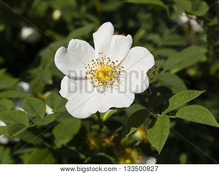 Blooming wild rose flower macro shallow DOF selective focus