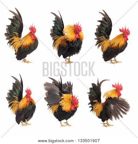 Set of chicken bantam isolated on white background