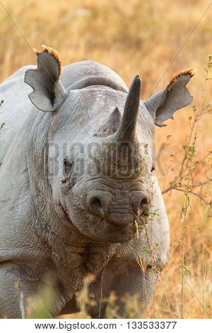 Black rhino in Nakuru Park in Kenya during the dry season. Vertical shot