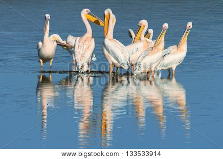 Group of pelicans in Nakuru Lake in Kenya