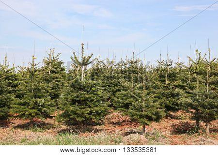 Nordmann fir plantation for Christmas market in Denmark poster