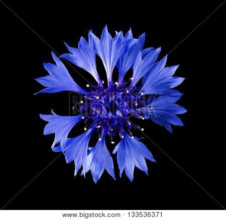 Cornflower from above on black background. Centaurea cyanus from the family Asteraceae, native in Europe. Macro photo.