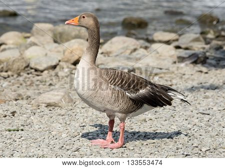Greylag Goose standing on a shingle beach on a sunny day