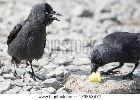 Two jackdaw birds fighting over a chunk of pineapple