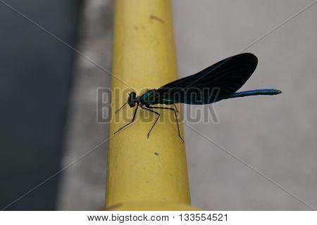 Beautiful Demoiselle (Calopteryx virgo) Damselfly resting beside the river