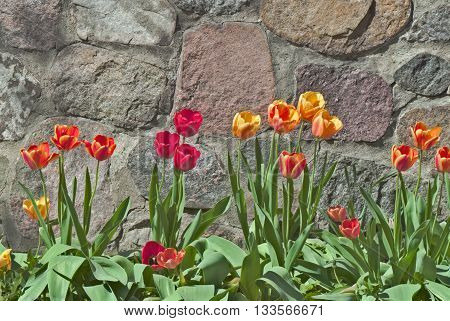 Beautiful Yellow Red and Orange Tulips In Front of Stone Wall