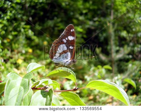 Close up of a Southern White Admiral Butterfly (Limenitis reducta)