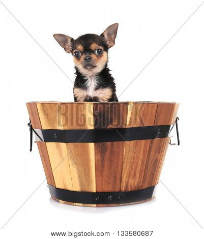 Puppy in wooden wash basin isolated on white