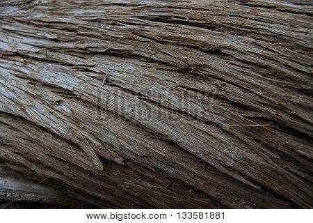 Fell wind swept tree lying on side showcasing beautiful bark texture.