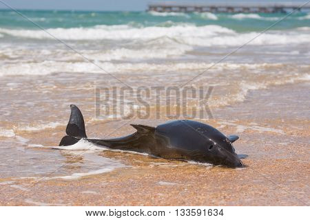 Dead Bottlenose Dolphins On The Shore Of The Sandy Beach