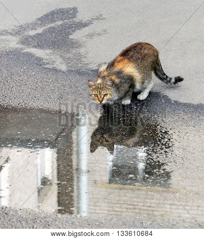Motley homeless cat who drank water from rain puddle on sidewalk. The water surface reflects cat and wall of house.