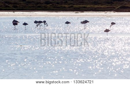 A group of Greater Flamingo (Phoenicopterus ruber) in their natural habitat, Camargue Park, France