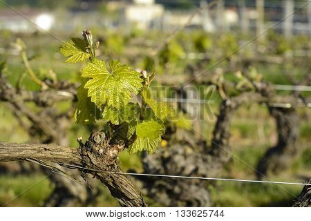 Young vine in vineyard, Beaujolais in France