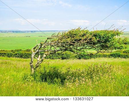 Single tree in windy day, England landscape