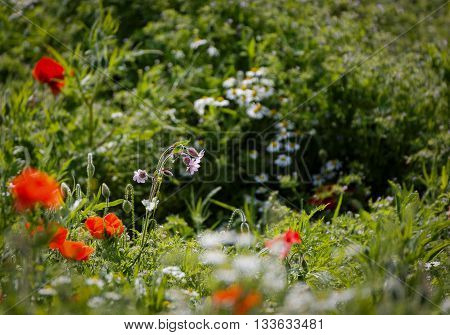 Wild red campion and  close group of poppies mixed with wild daisies