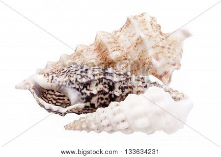 Seashells of Auger shells called Auger snails isolated on white background.
