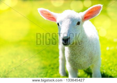 Lamb in the sunshine with copy space