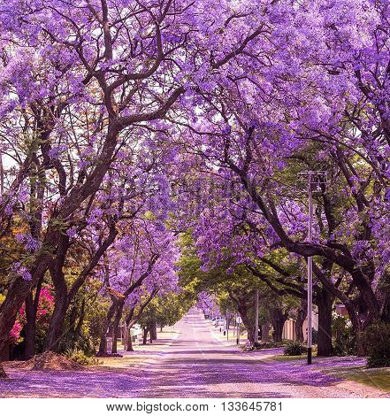 Street of beautiful violet vibrant jacaranda in bloom. Tenderness. Romantic style. Spring in South Africa. Pretoria.