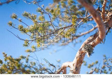 Clear skies and sun shining on a wonky pine tree branch