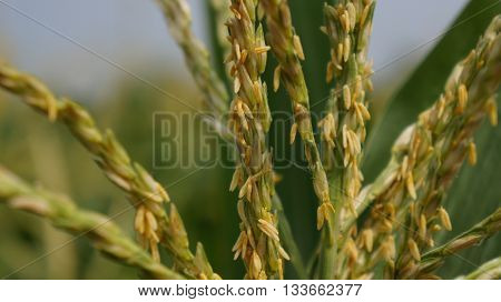 Detailed Closeup Shot of Corn Blossom in front of blurry field