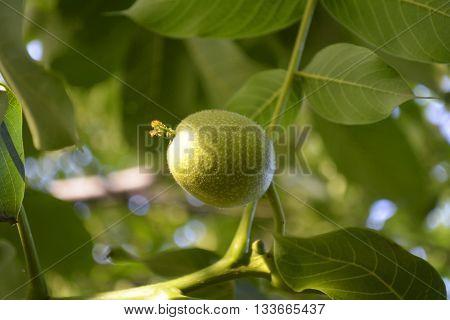 branch of green walnut in the garden, harvest the garden