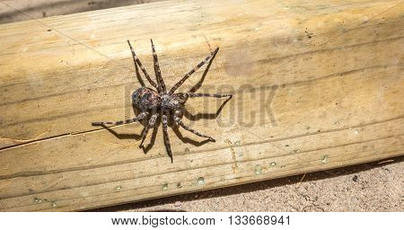 Canada's largest creepy looking spider, the Dock spider of the Pisauridae family, (Dolomedes sp), sitting atop a piece of 4x4 lumber on a sunny day.