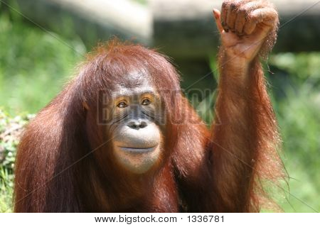 Smirking Or Smiling Orangutan