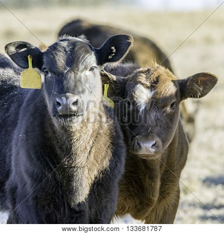 Black calf and a brown calf looking at the camera