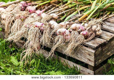 Freshly dug organic garlic drying on the grass