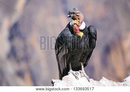 Andean Condor Sitting At Mirador Cruz Del Condor In Colca Canyon, Peru