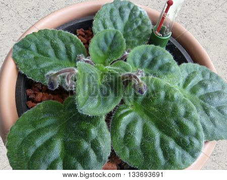 Young African violet Saintpaulia in a hydroponics on granules. African Violets are best reproduced by cuttings.