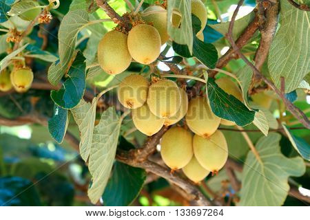 Kiwifruit /Chinese gooseberry (Actinidia sp.) on the vine tree. Kiwifruit is native to China and wide spread to the world