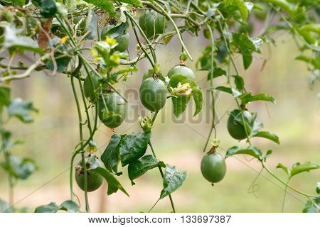 Passion fruit / Passionfruit (Passiflora edulis) growing and have fresh fruits on the vine.