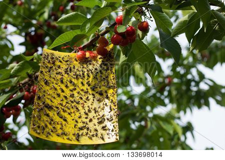 Yellow sticky fly paper with lots of flies trapped on it hanged on a cherry tree
