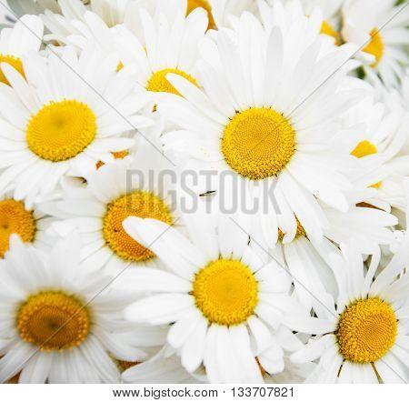 Beautiful Daisy Flowers Close Up